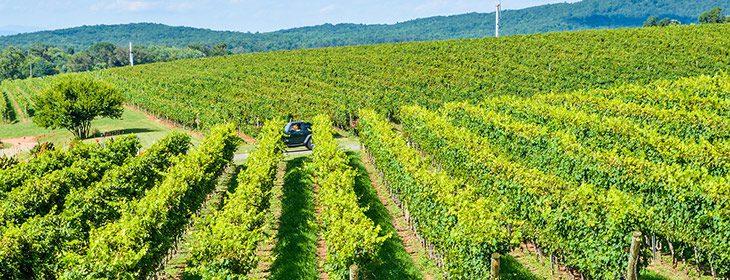 Rows of vines at a vineyard
