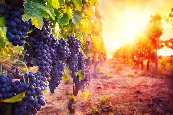 Grapes at a vineyard during sunset