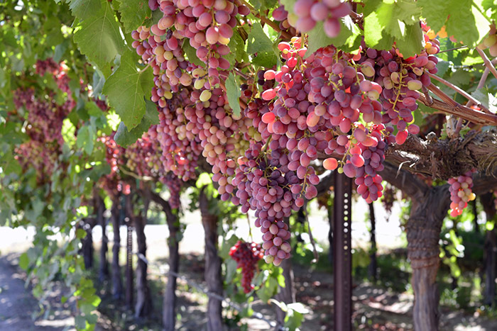 Red grapes on the vine at a winery
