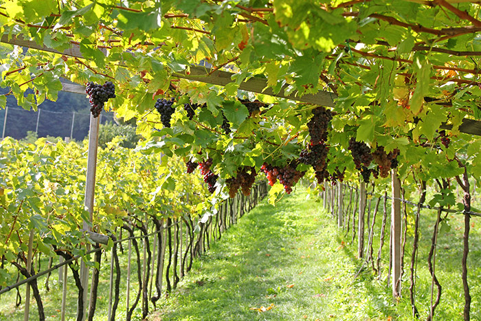 Vines with grapes at a winery